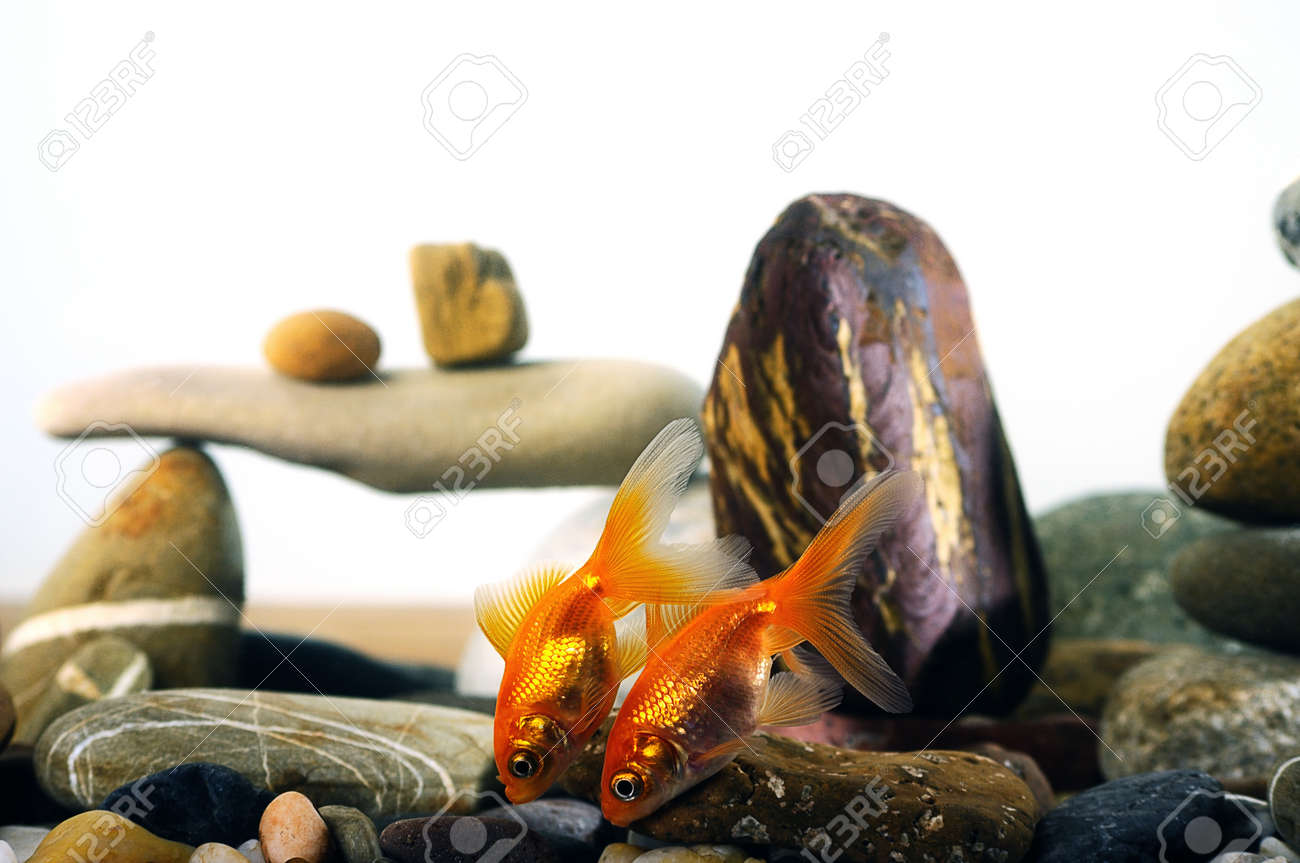Couple Goldfish In Aquarium Over Well Arranged Zen Stone Stock Photo    17133563