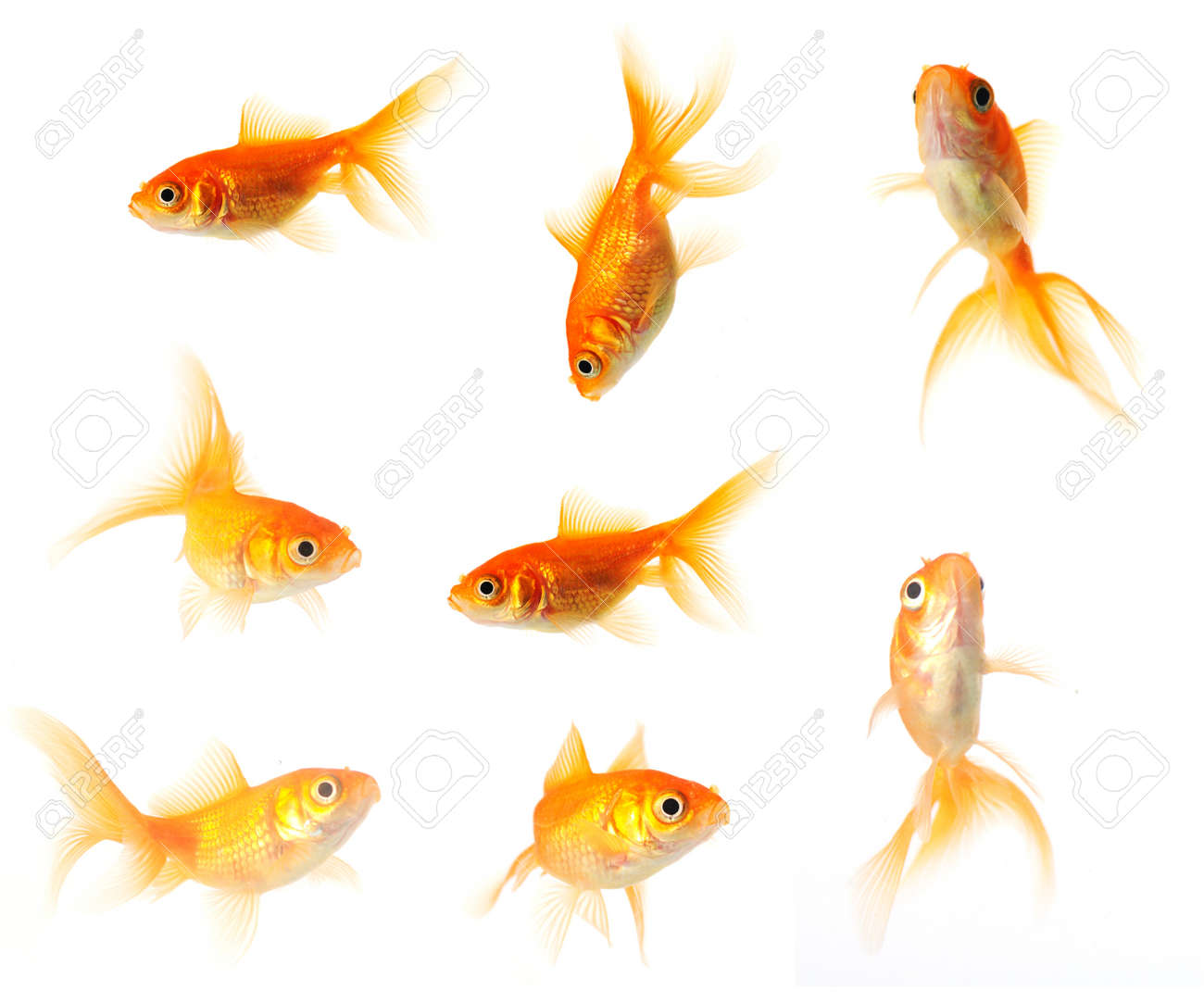 collection of goldfish isolated on white in 24mp  file Stock Photo - 20721738