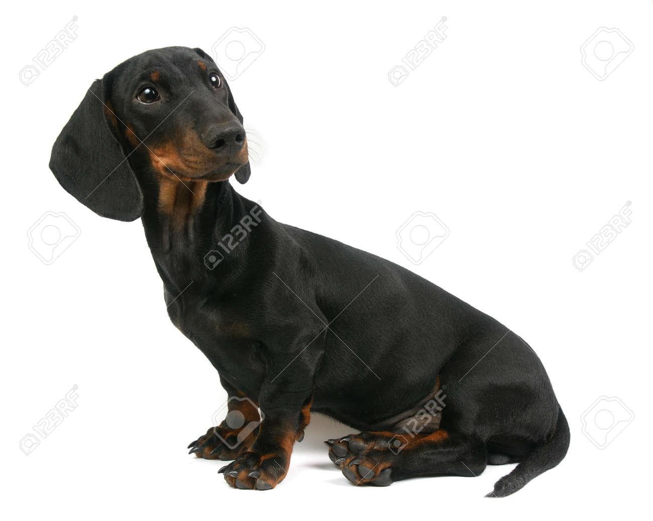 Dachshund puppy, 4 months old, portrait on a white background Stock Photo - 14411428