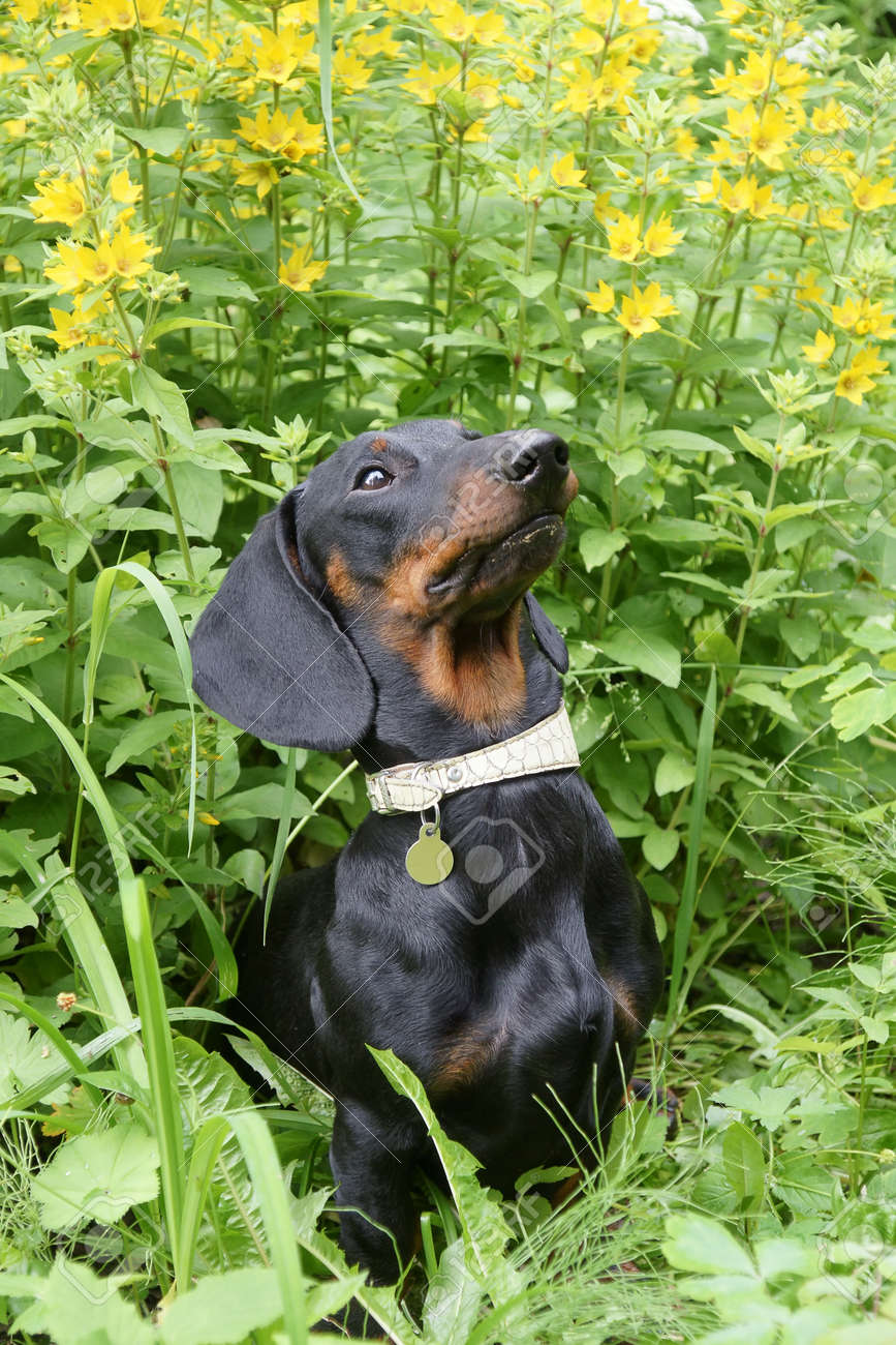 Young black and tan dachshund against Point loosestrife  Lysimachia punctata Stock Photo - 17195809