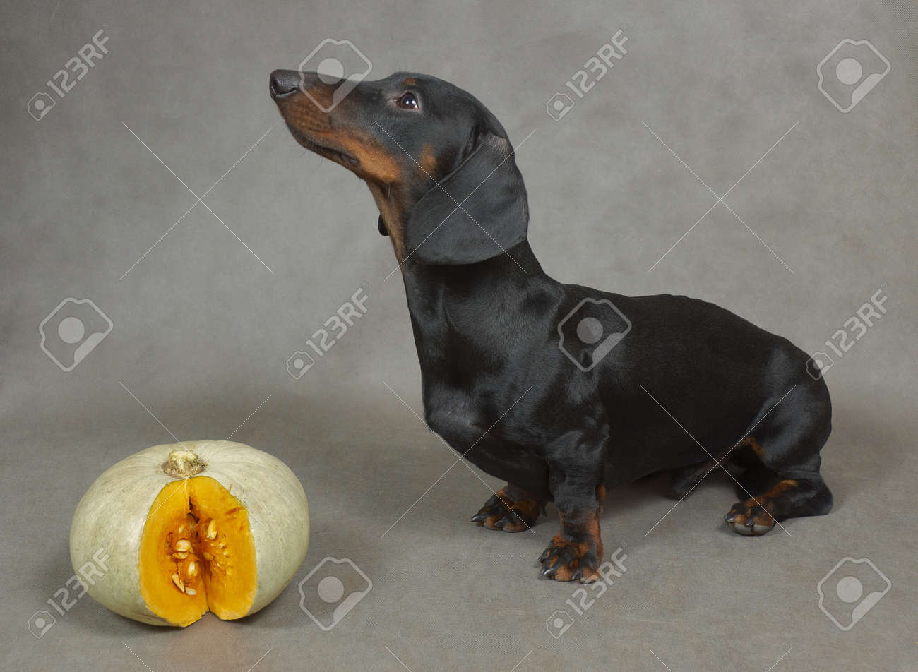 Dachshund and cut pumpkin Stock Photo - 18852848