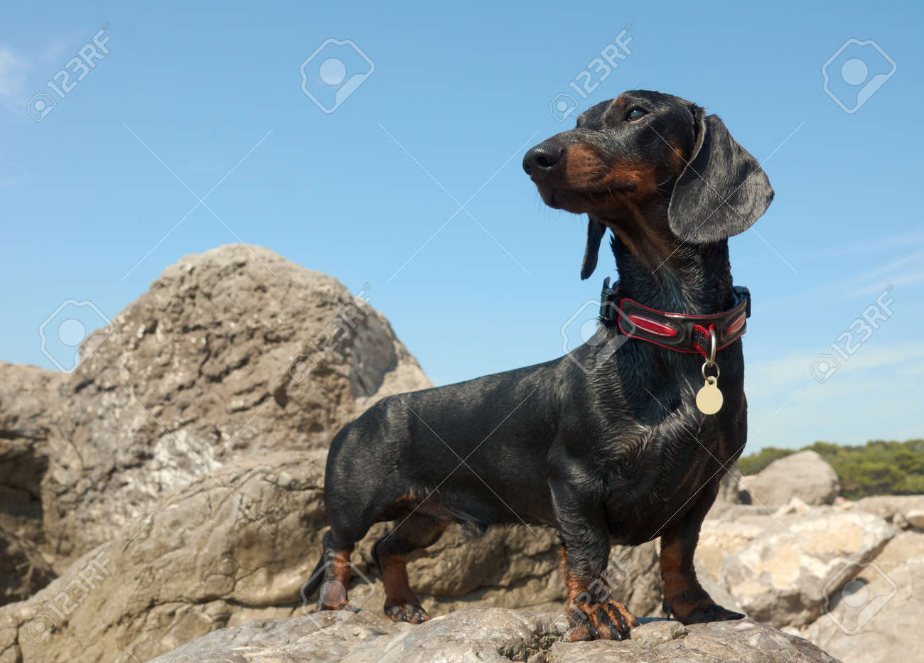 Dachshund puppy, 9 months old,   on stone  after swimming Stock Photo - 26245779
