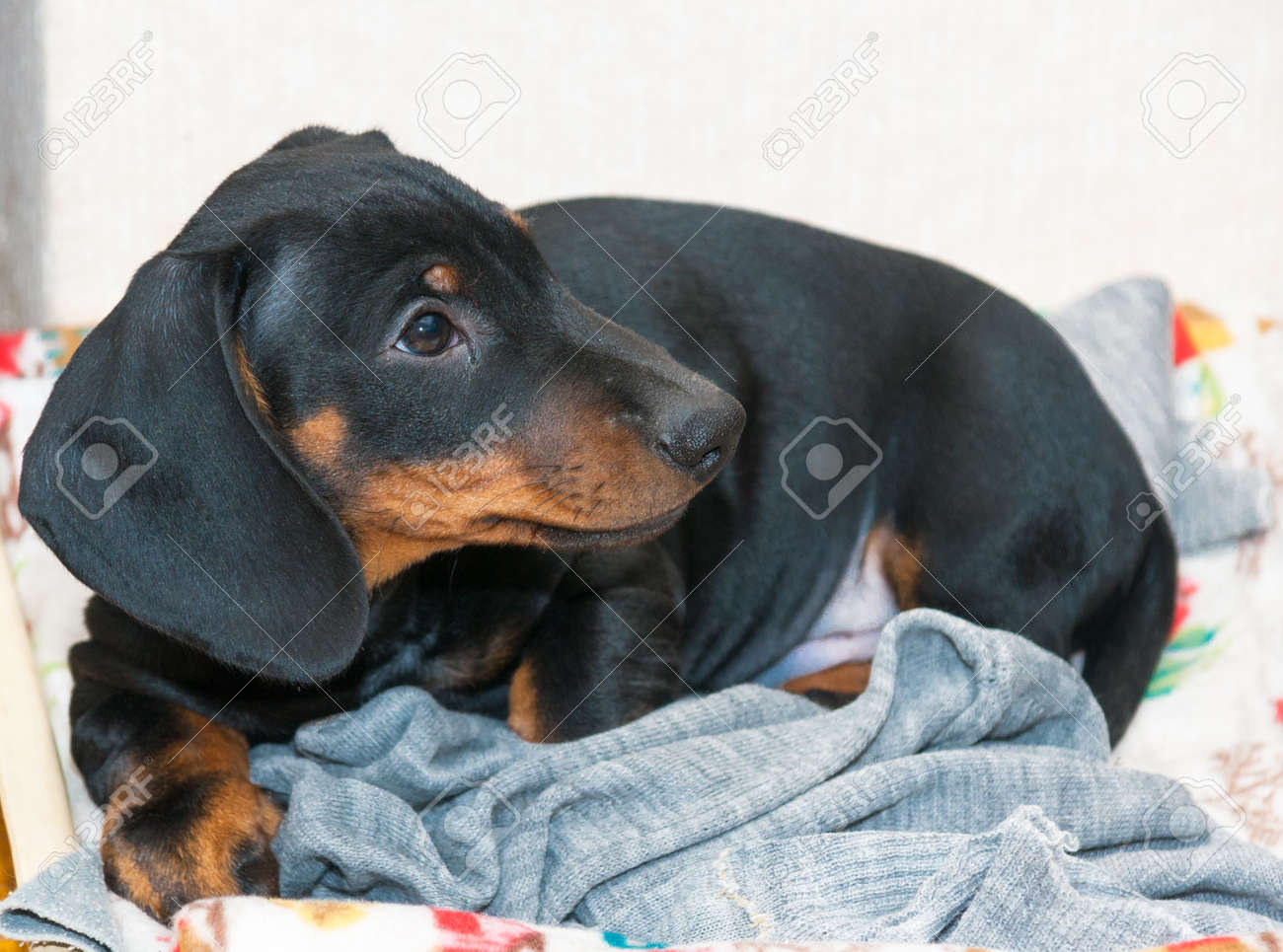 Portrait Of Three Month Puppy Of Black And Tan Dachshund Stock Photo Picture And Royalty Free Image Image 110592196