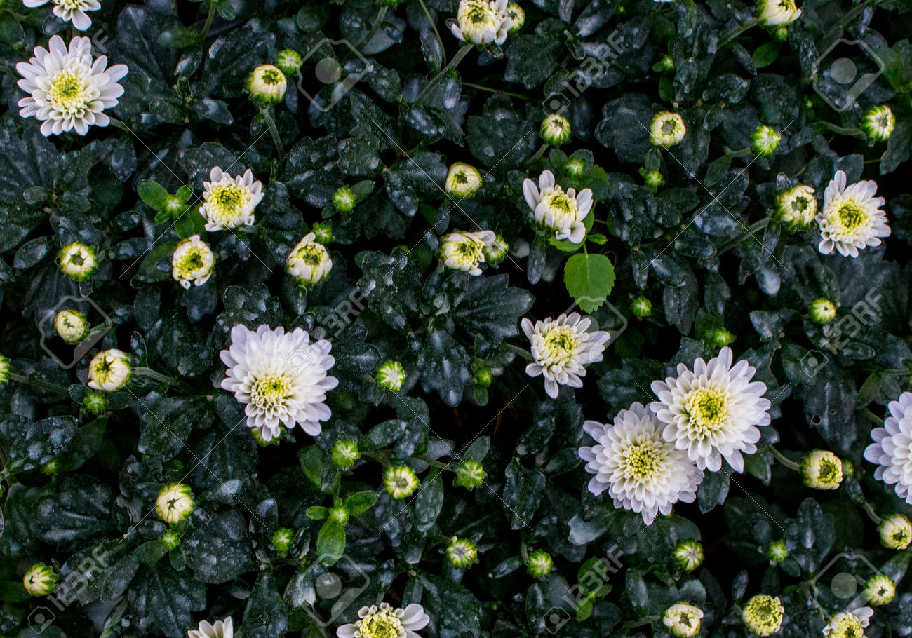 Top View Of White Flowers And Yellow Budding Flowers And Green