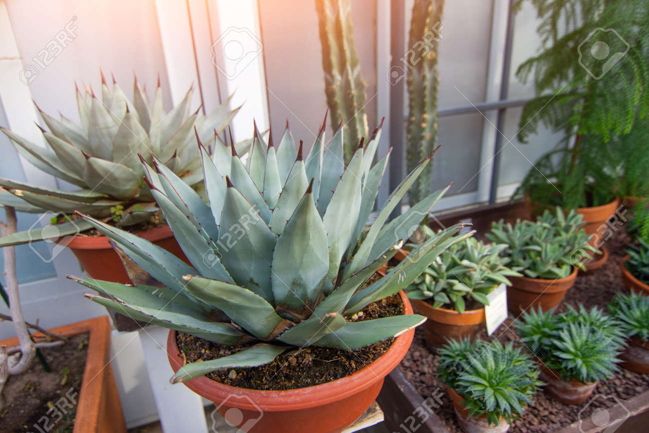 Agave Bushes In Pots In A Greenhouse Stock Photo Picture And
