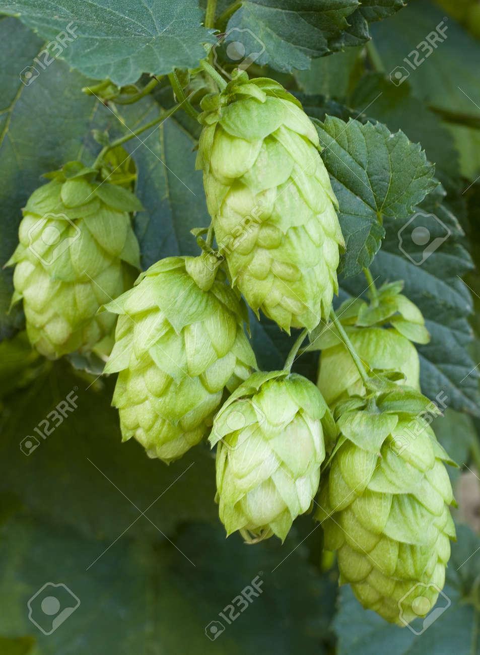 hop cones Stock Photo - 10816146