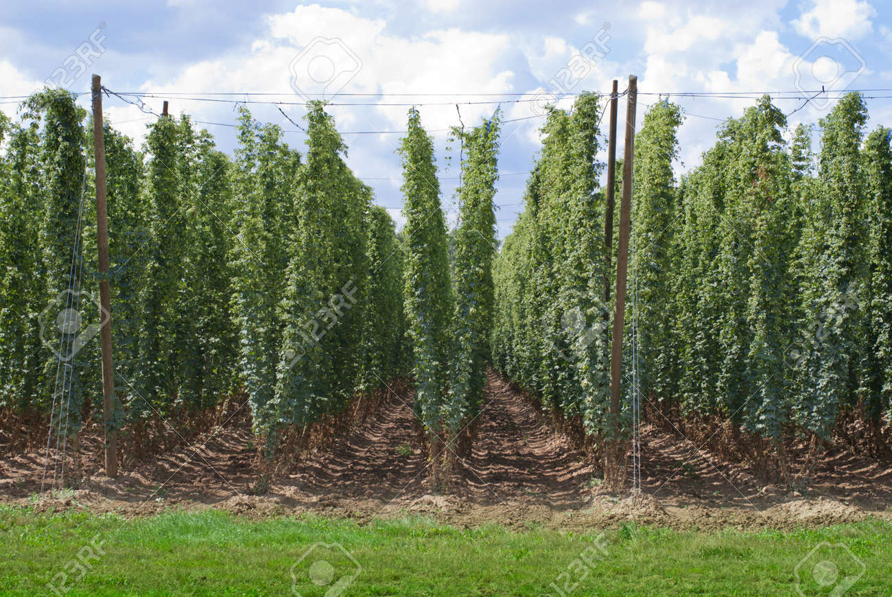 Hop Garden Stock Photo, Picture And Royalty Free Image. Image 20920582.