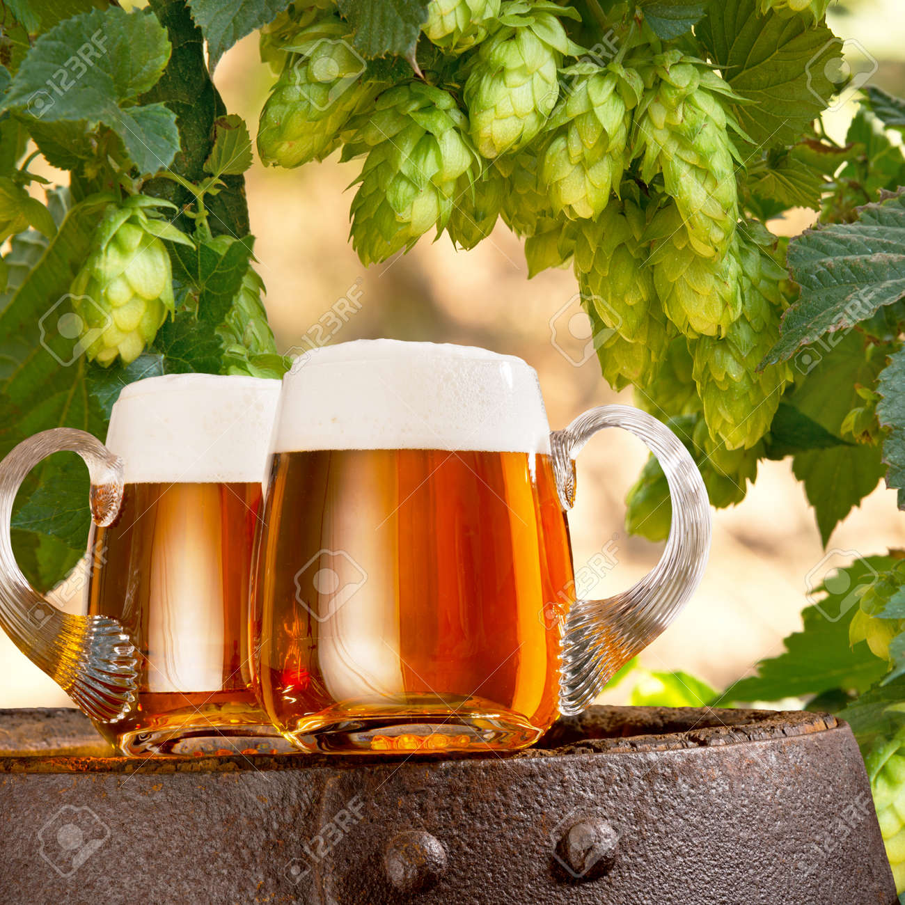 Two glasses of beer in the hop field - 51151159