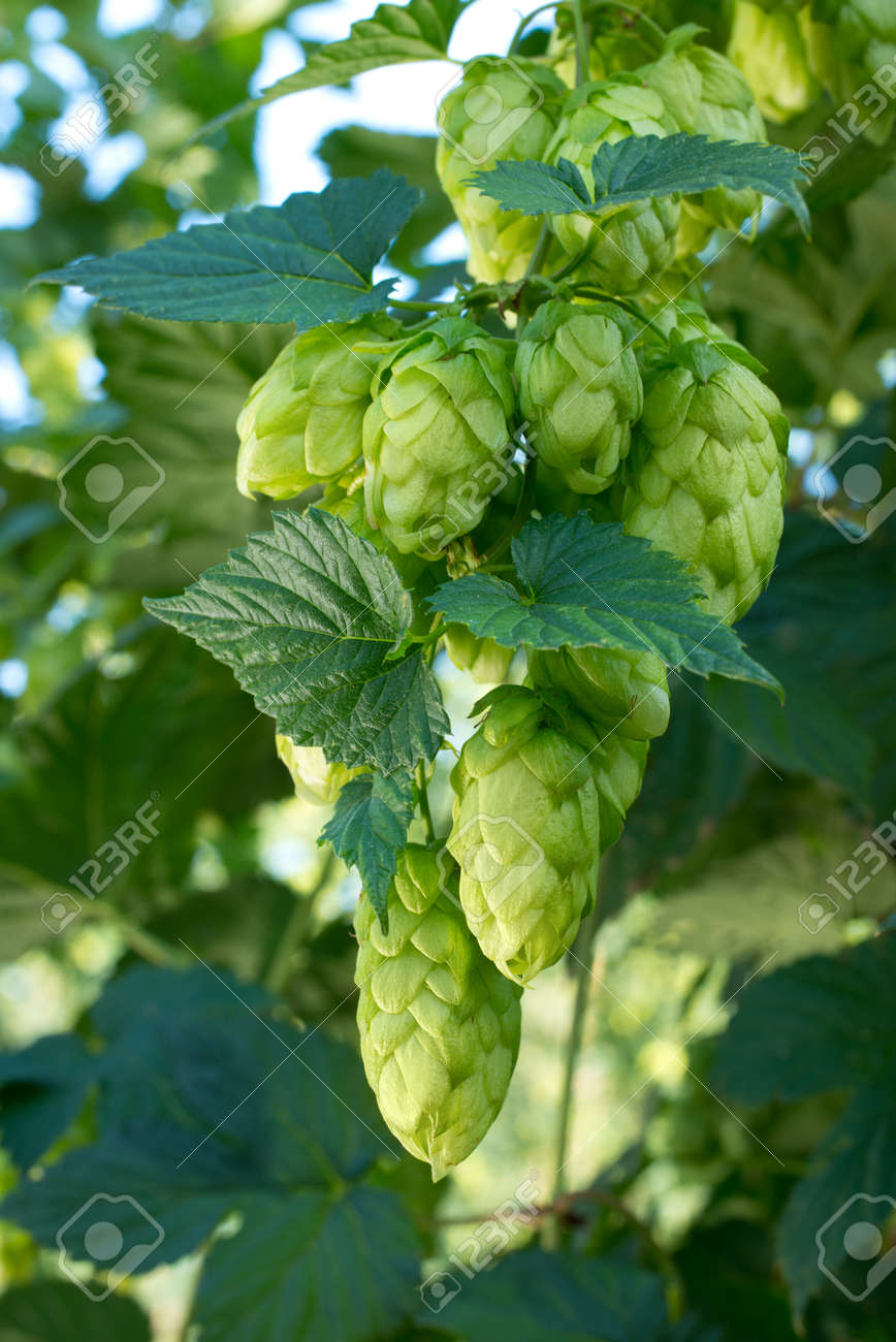 Detail of hop cones in the hop field before harvest - 113021722