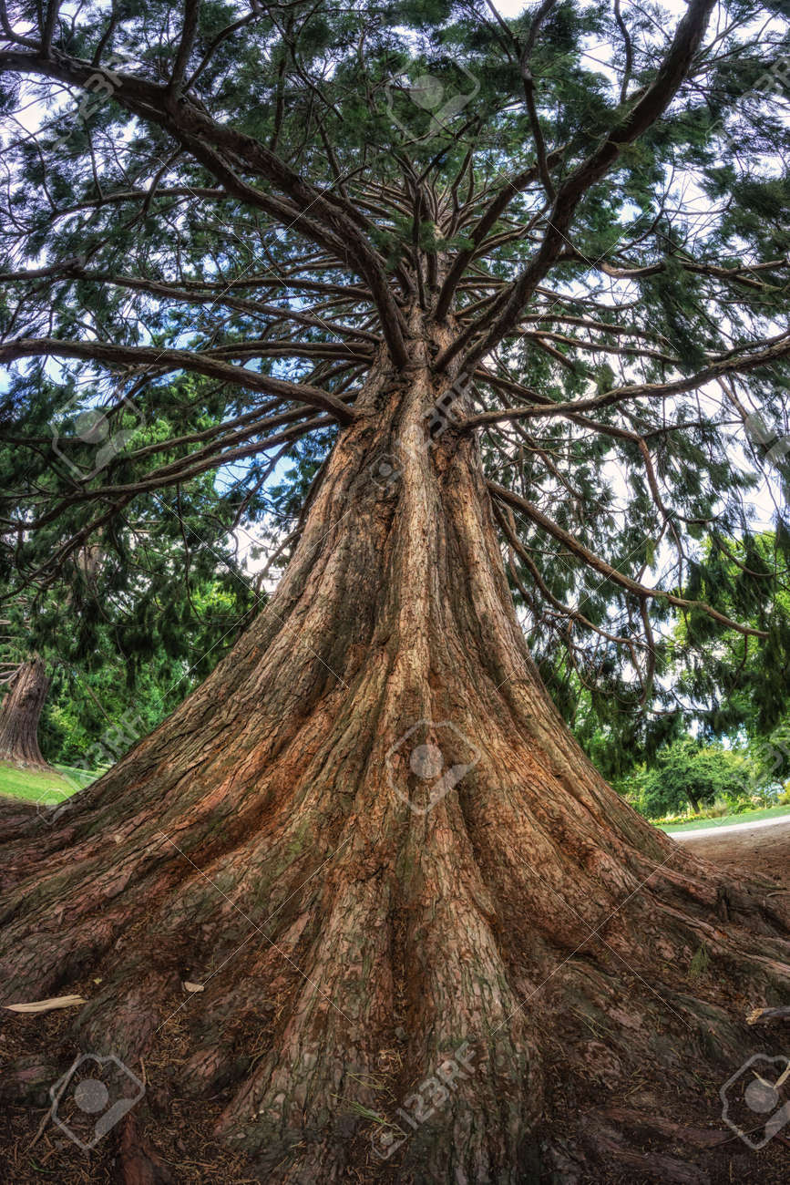 Blue Atlas Cedar Tree In Queenstown Gardens In New Zealand. Taken ...