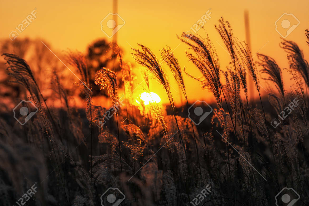 tall grass field sunset. Silhouette Of Tall Reeds Or Silver Grass Taken Against The Sunset. In Haneul Park Field Sunset L