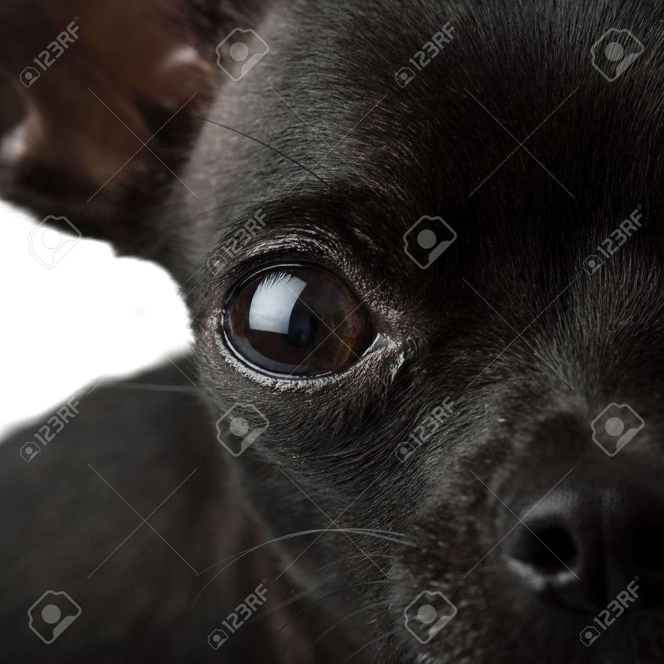 black chihuahua closeup Stock Photo - 5228521