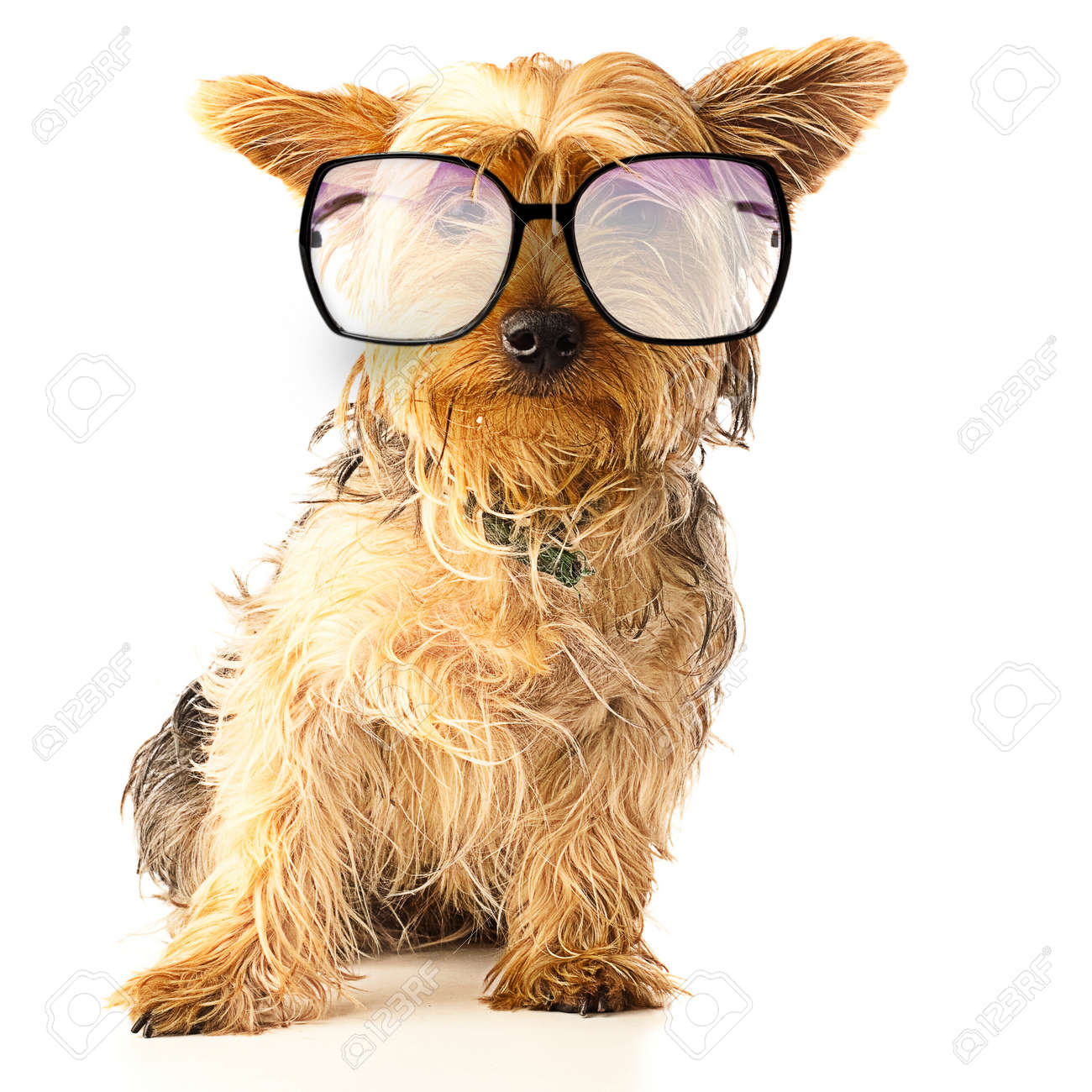 alerted yorkshire with black glasses over white background Stock Photo - 10550887