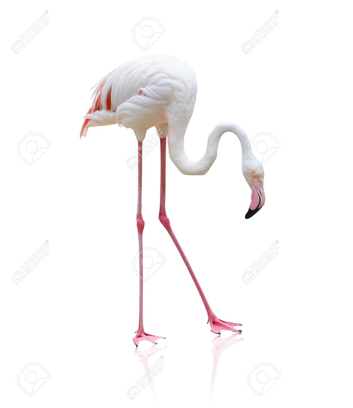 Portrait Of A Flamingo On White Background Stock Photo - 14438797