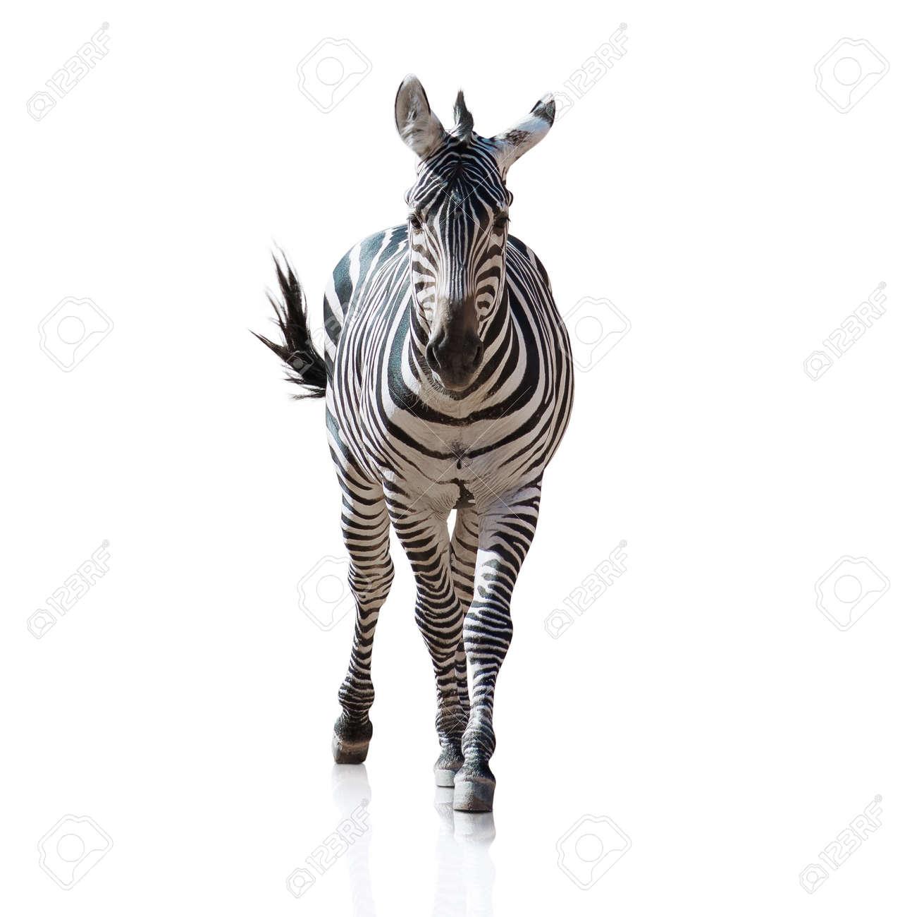 burchell zebra stock photos royalty free burchell zebra images