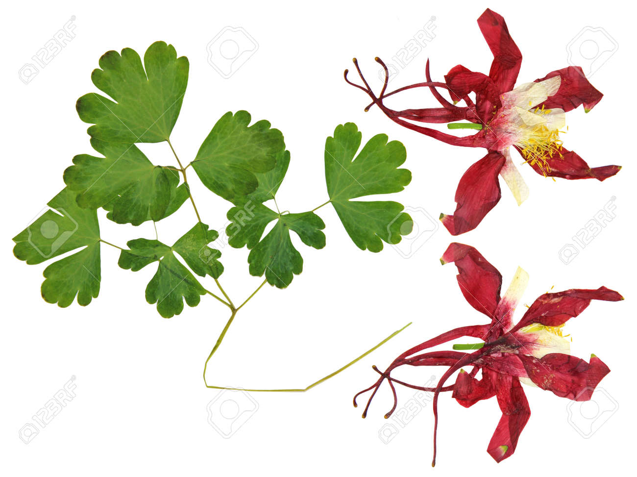 Dry Large Red And White Perspective Delicate Royal Aquilegia Stock