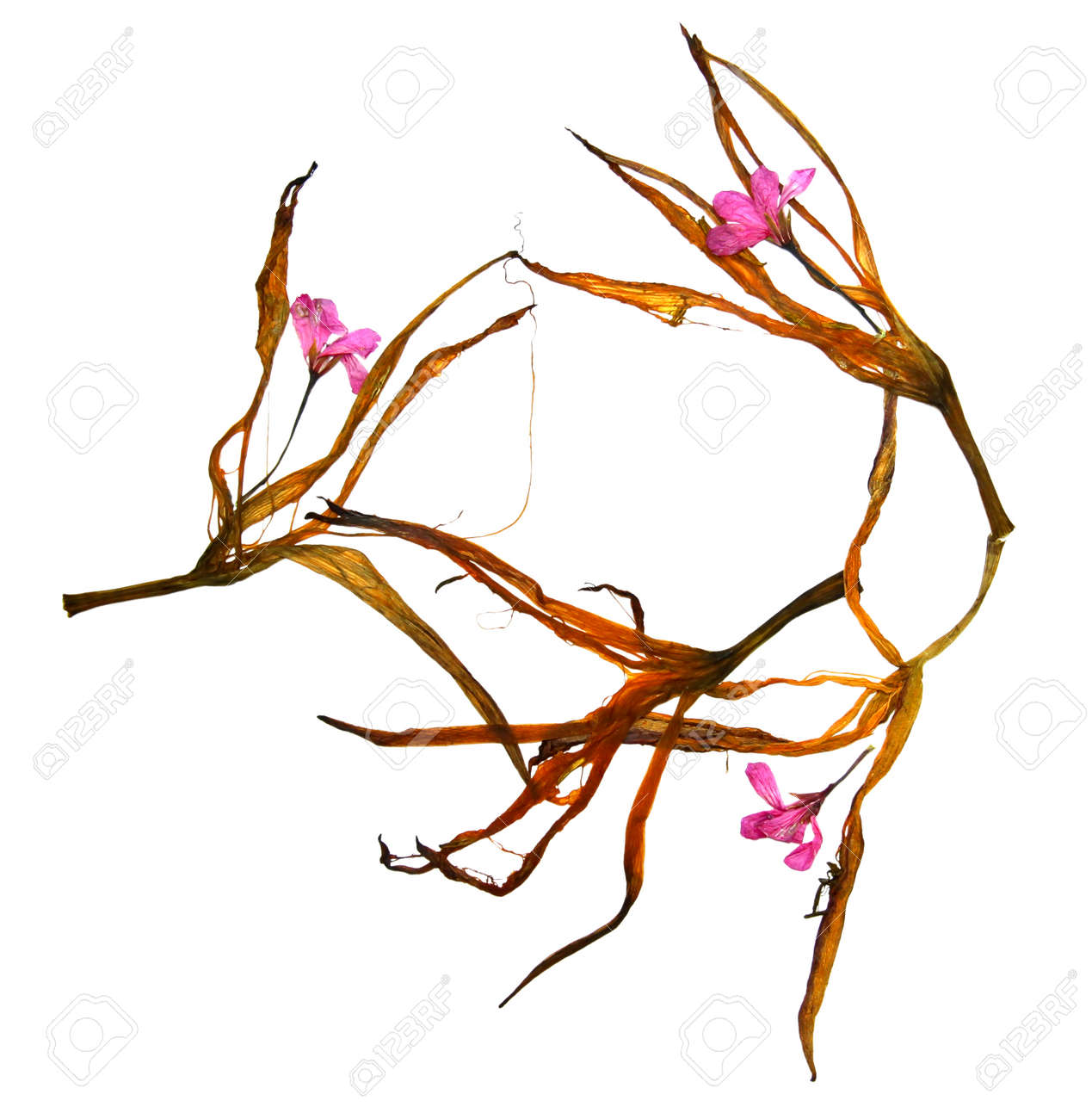dried lily petals and pressed flowers geraniums stock photo picture
