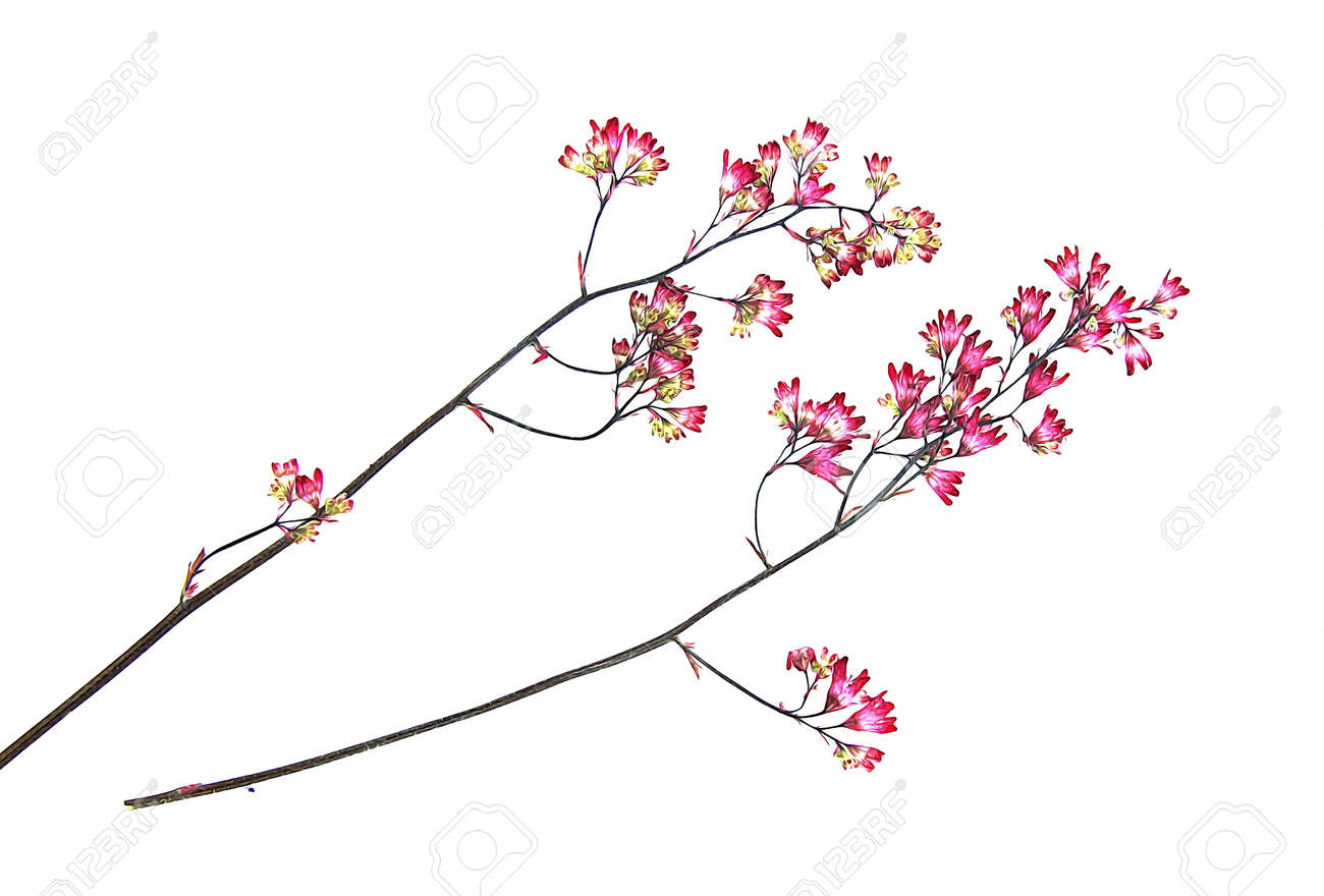 Dry Pressed Pink Small Carnation Flowers On A Branch Illustration