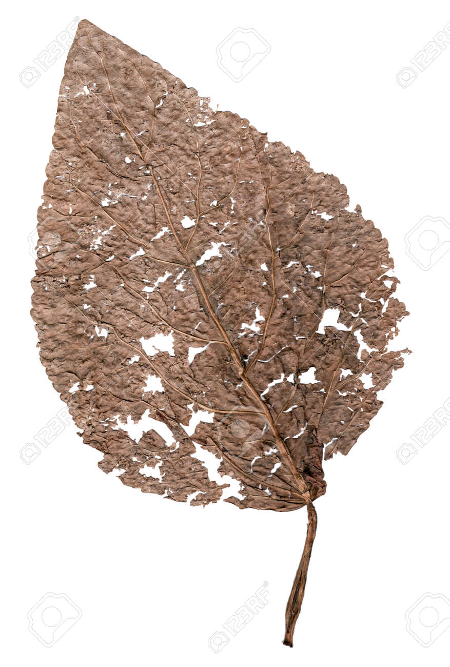 Delicate Dried Brown Leaf With Lots Of Detailed Venation Skeleton