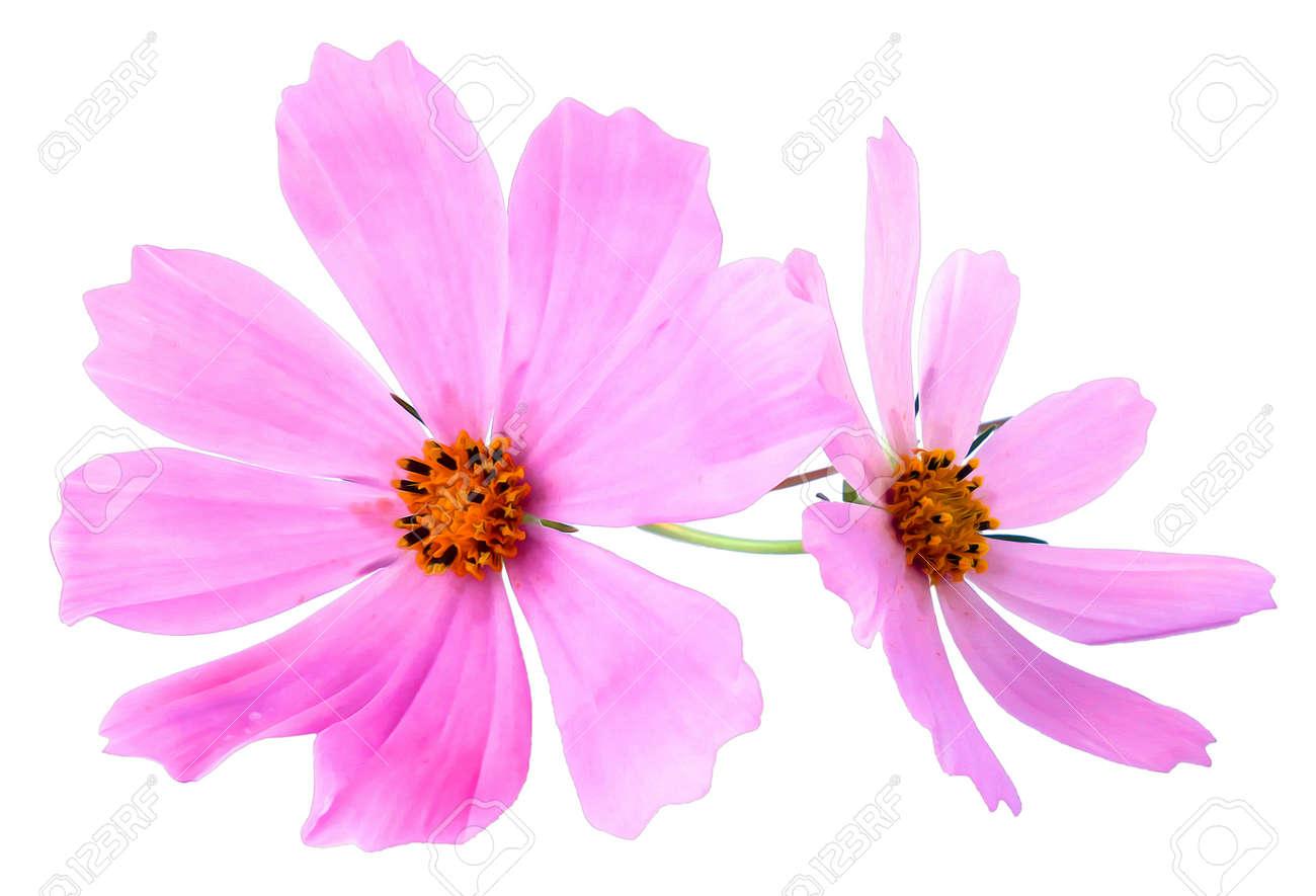 Huile Dessiner Illustration Du Petit Bouquet De Kosmeya Multicolore