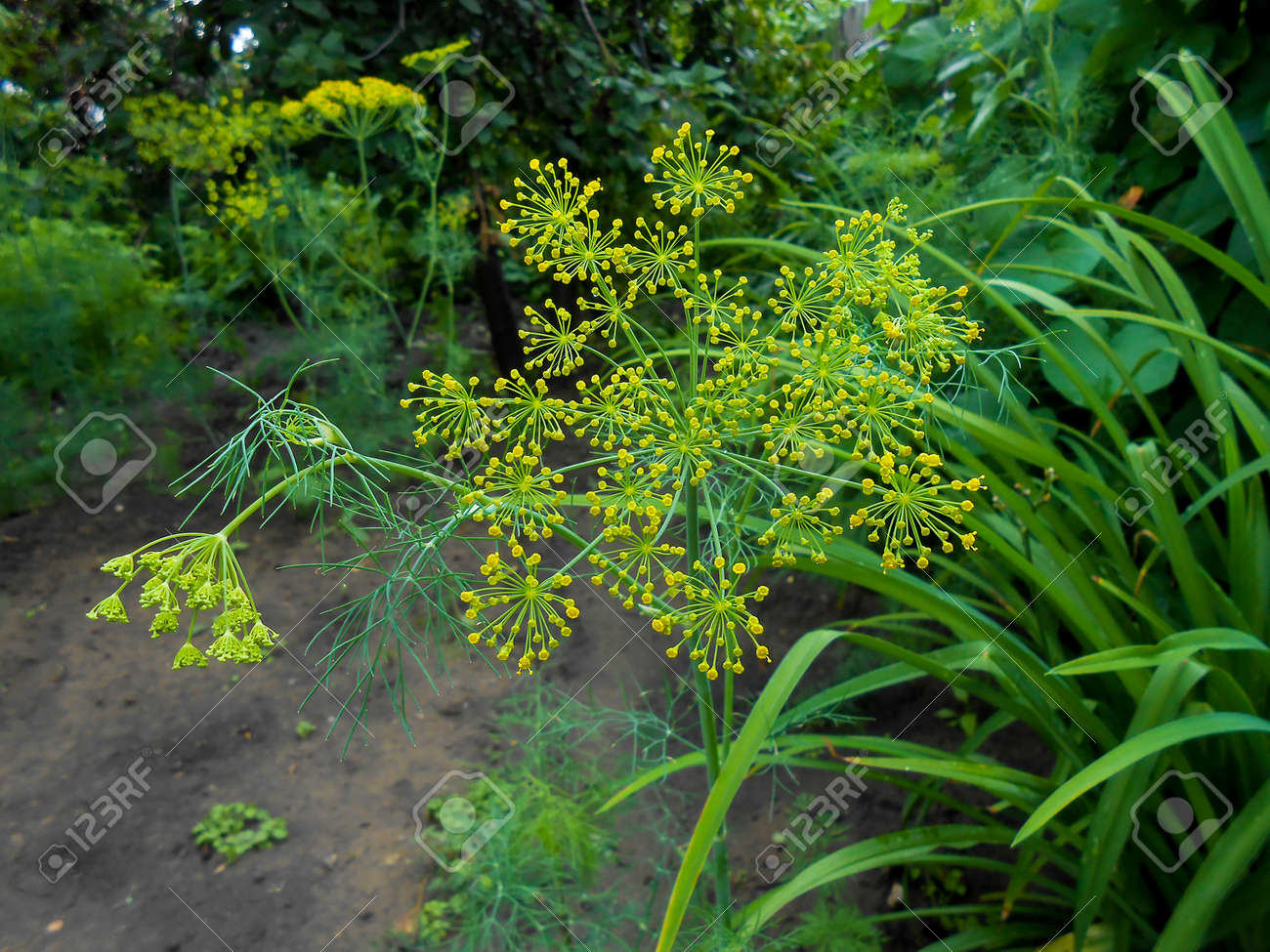Green Dill Nap Garden. Flower Of Green Fennel. Green Background Of Anethum  Graveolens.