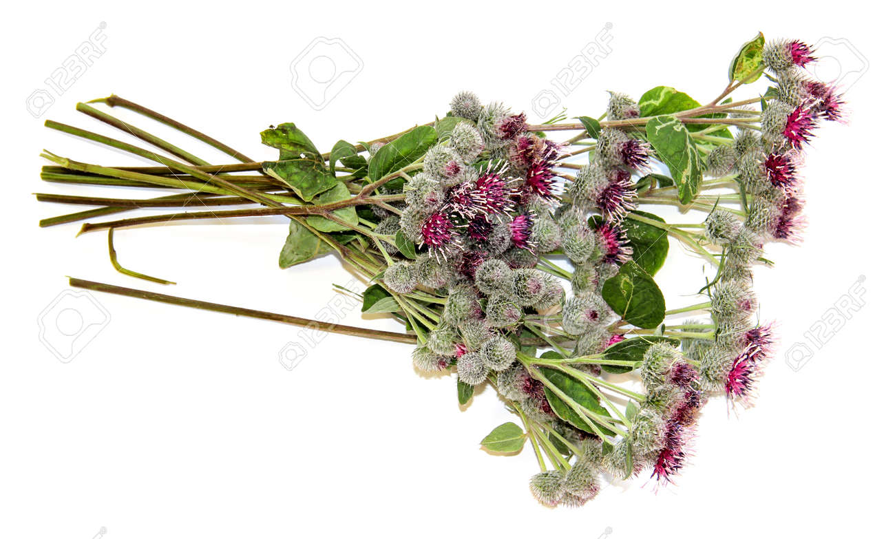 Blooming Pink Flowers Thorny Thistle Bouquet On White Background ...