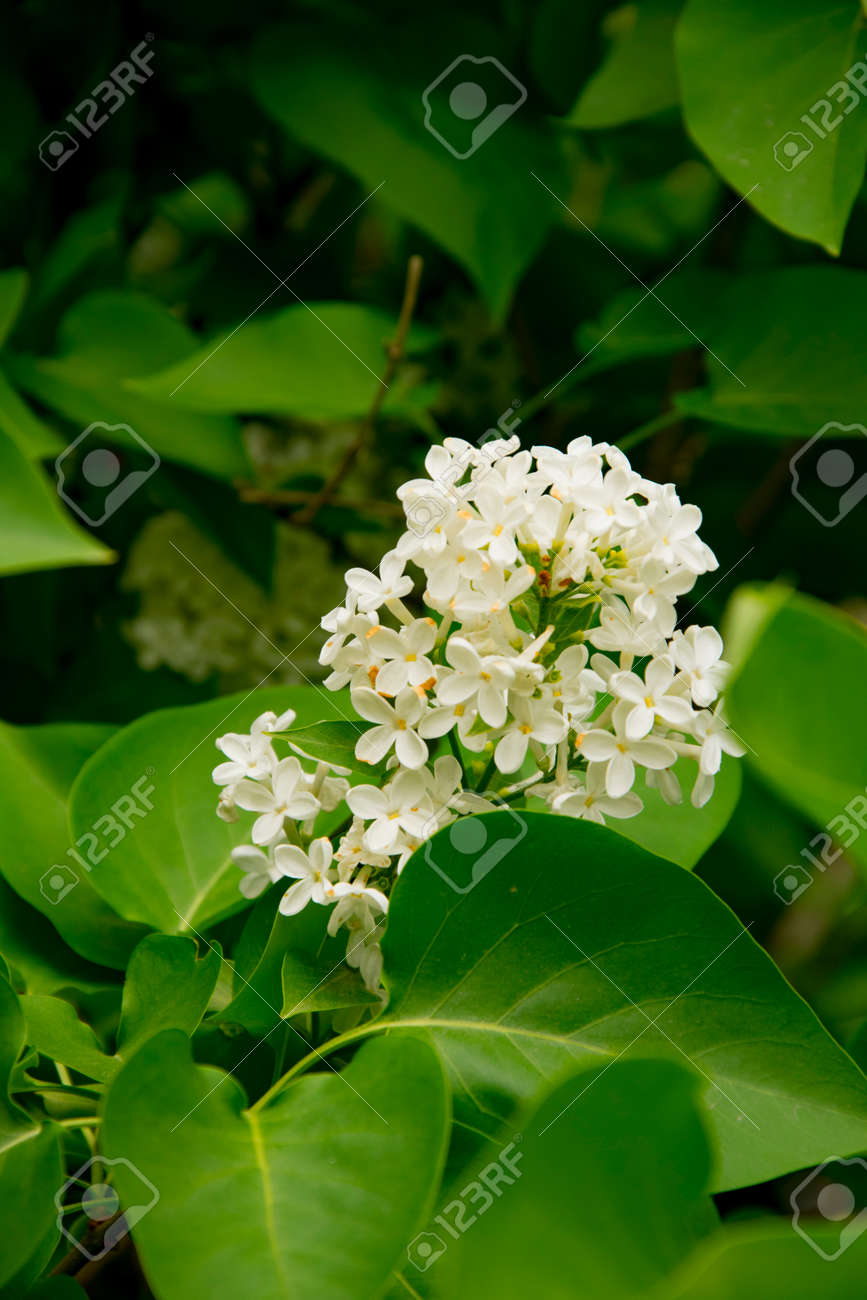 branch large flowers white lilac among green leaves - 125472554