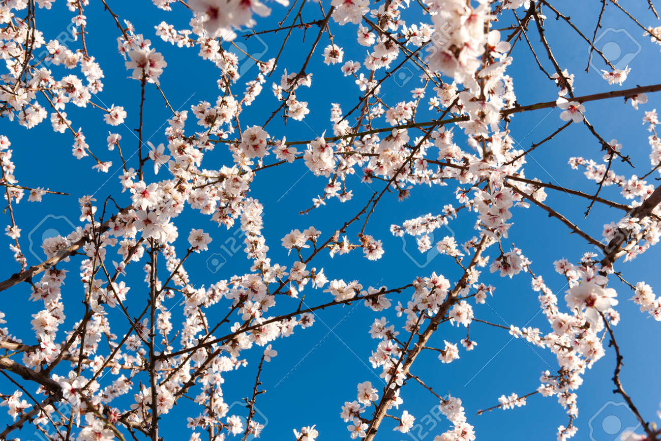 Flowers In Almond Tree With Blue Background Horizontal Format Stock