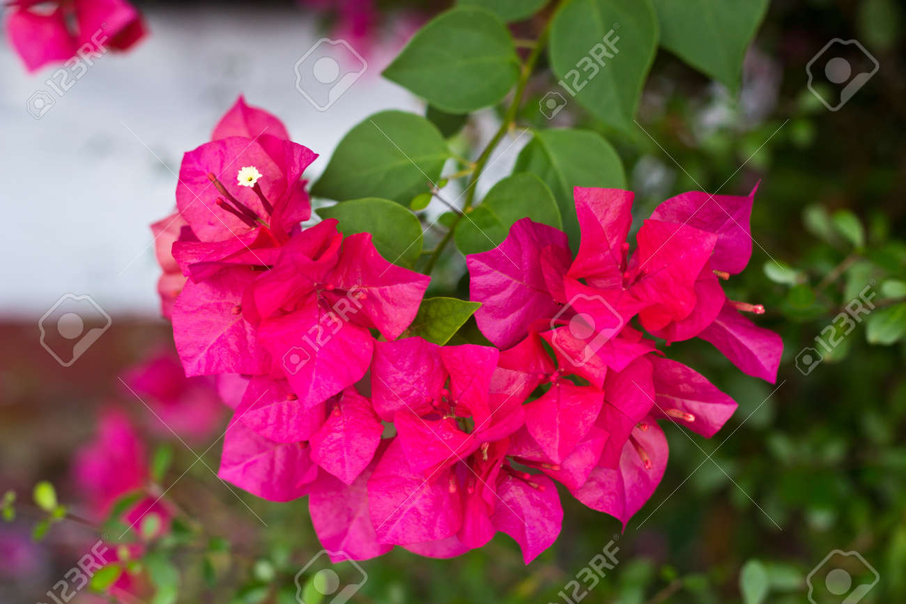 Fuengfah Flowers Pink Colour Stock Photo Picture And Royalty Free