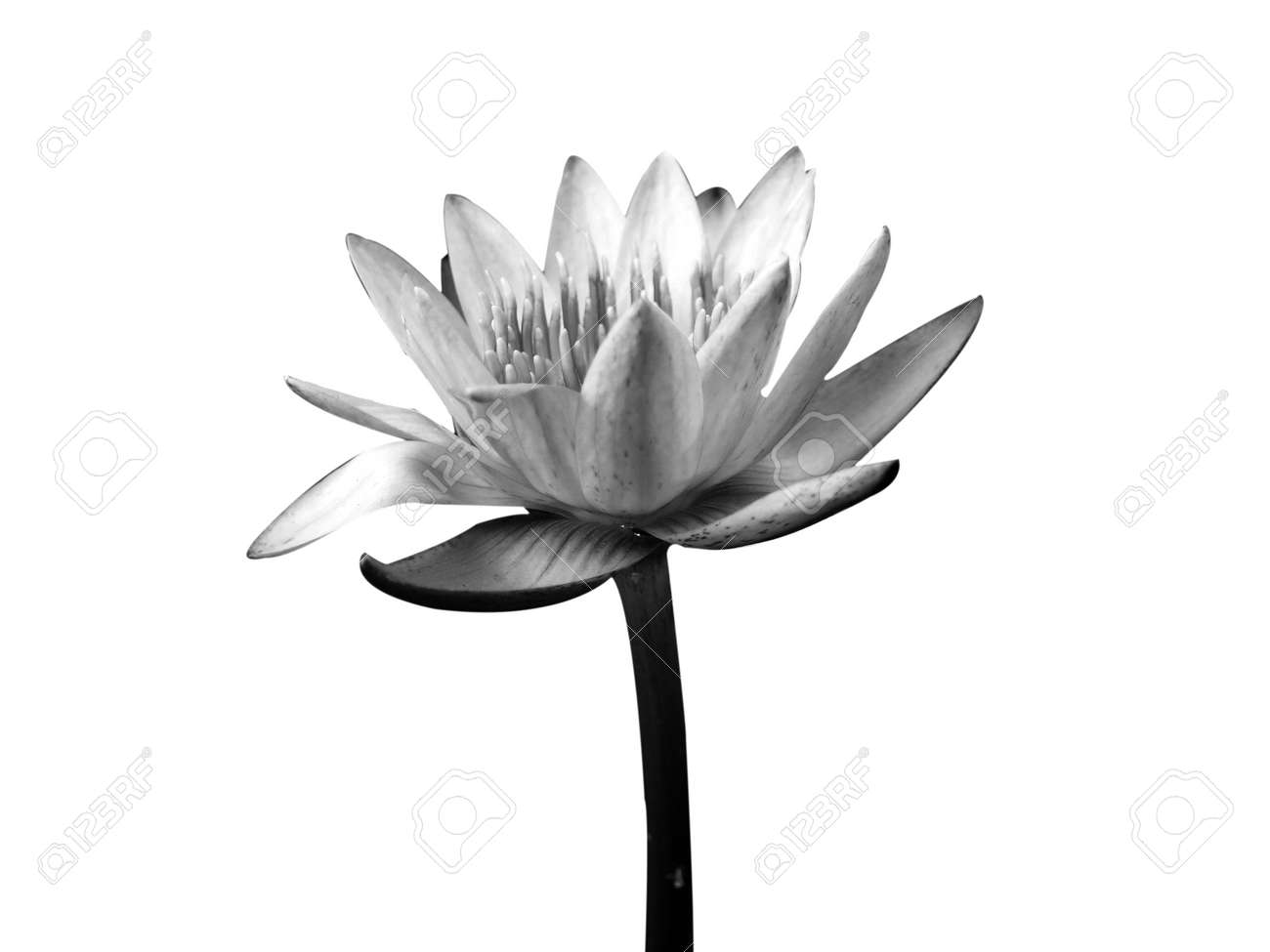 Lotus flower in black and white isolated on white background stock lotus flower in black and white isolated on white background stock photo 13251272 izmirmasajfo