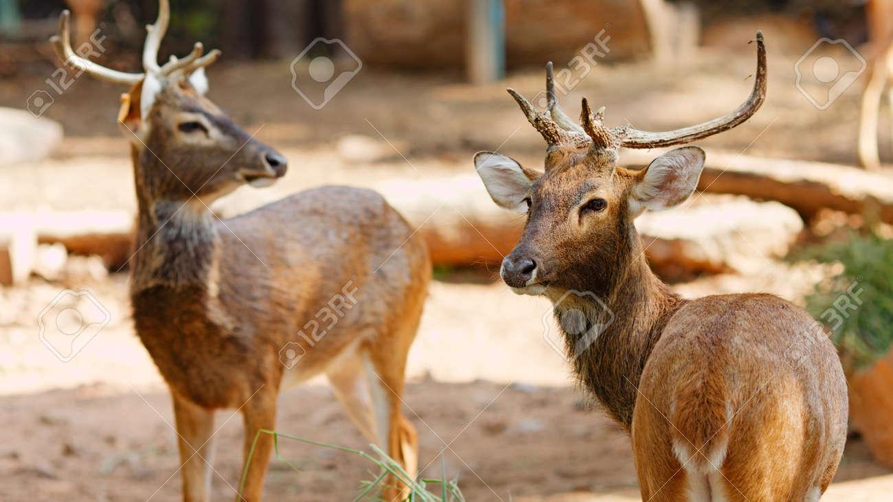 two Siamese Eld's deer, Brow-Antlered Deer, Thailand Stock Photo - 12595728