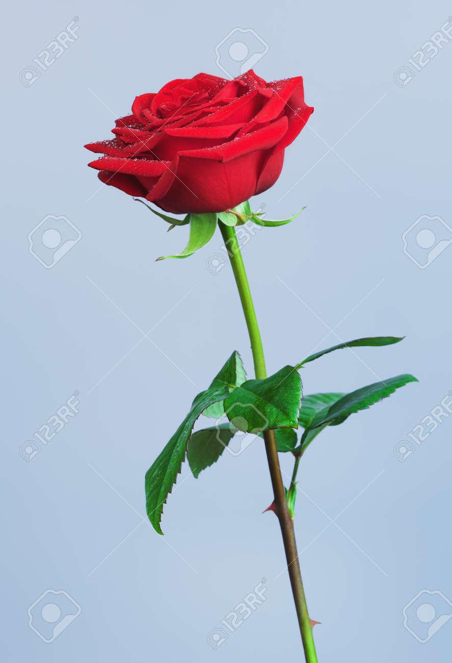 一輪の赤いバラ花、青の背景に の写真素材・画像素材 Image 43556629.