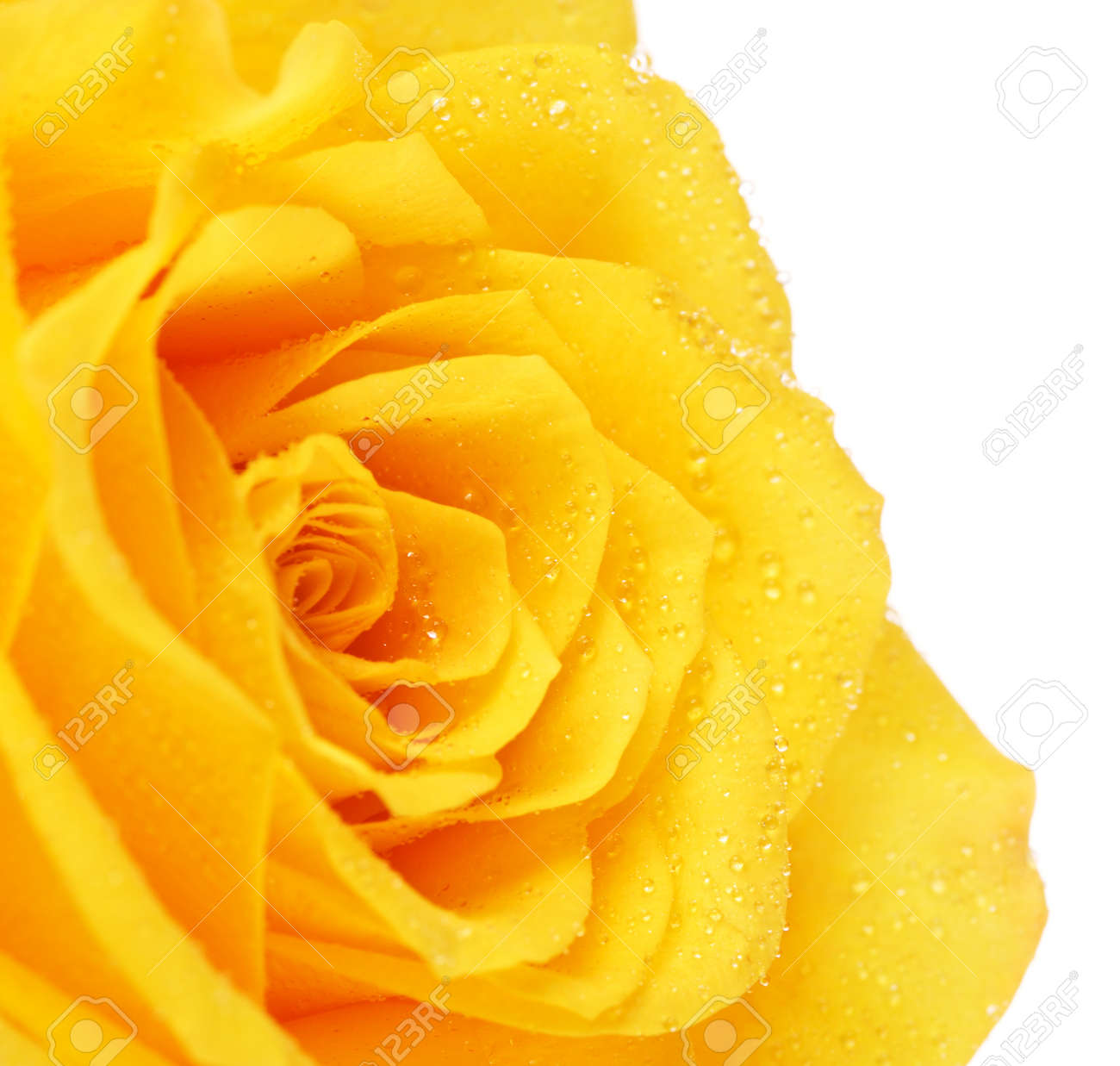 Single Yellow Rose Flower Isolated On White Close Up Stock Photo