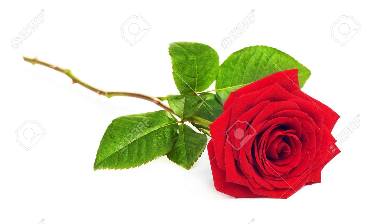Seule Fleur Rose Rouge Isole Sur Fond Blanc Banque D Images Et