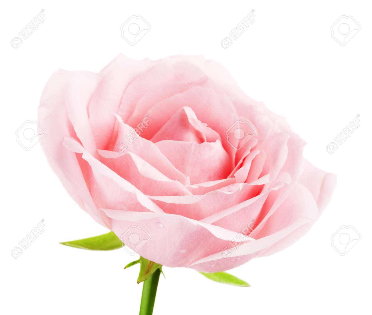Single Pink Rose Flower Isolated On White Background Stock Photo