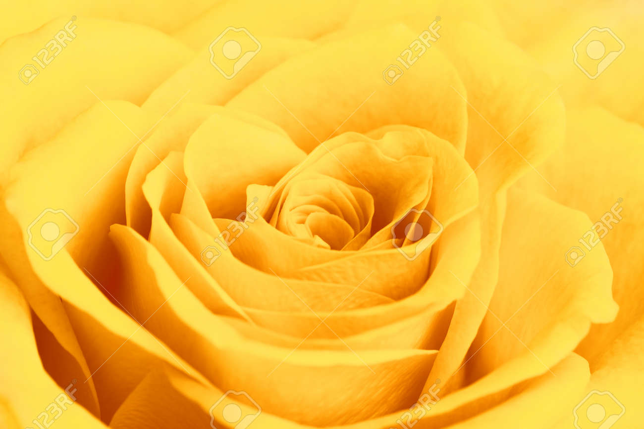 Single Yellow Rose Flower Background Close Up Stock Photo Picture