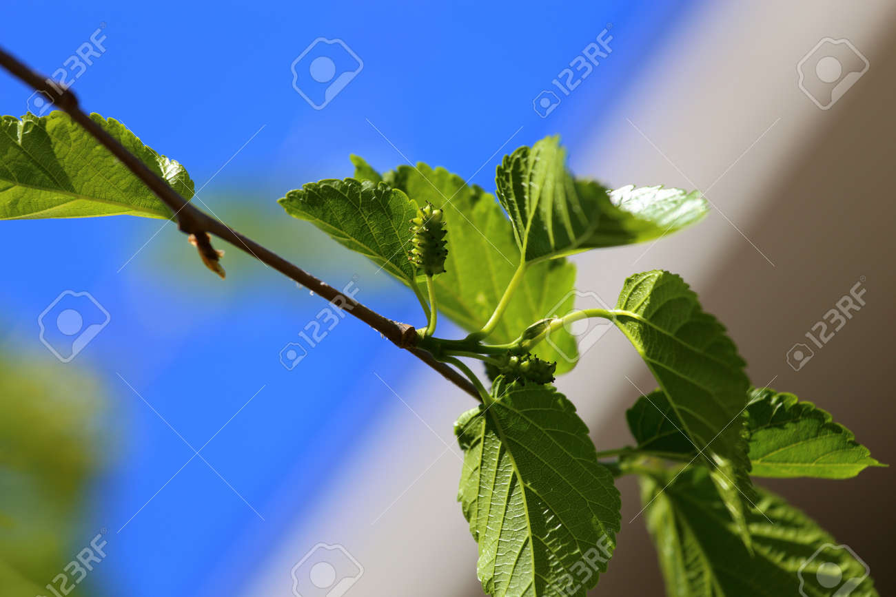 A Close Up View Of A White Mulberry Tree Morus Alba With Small