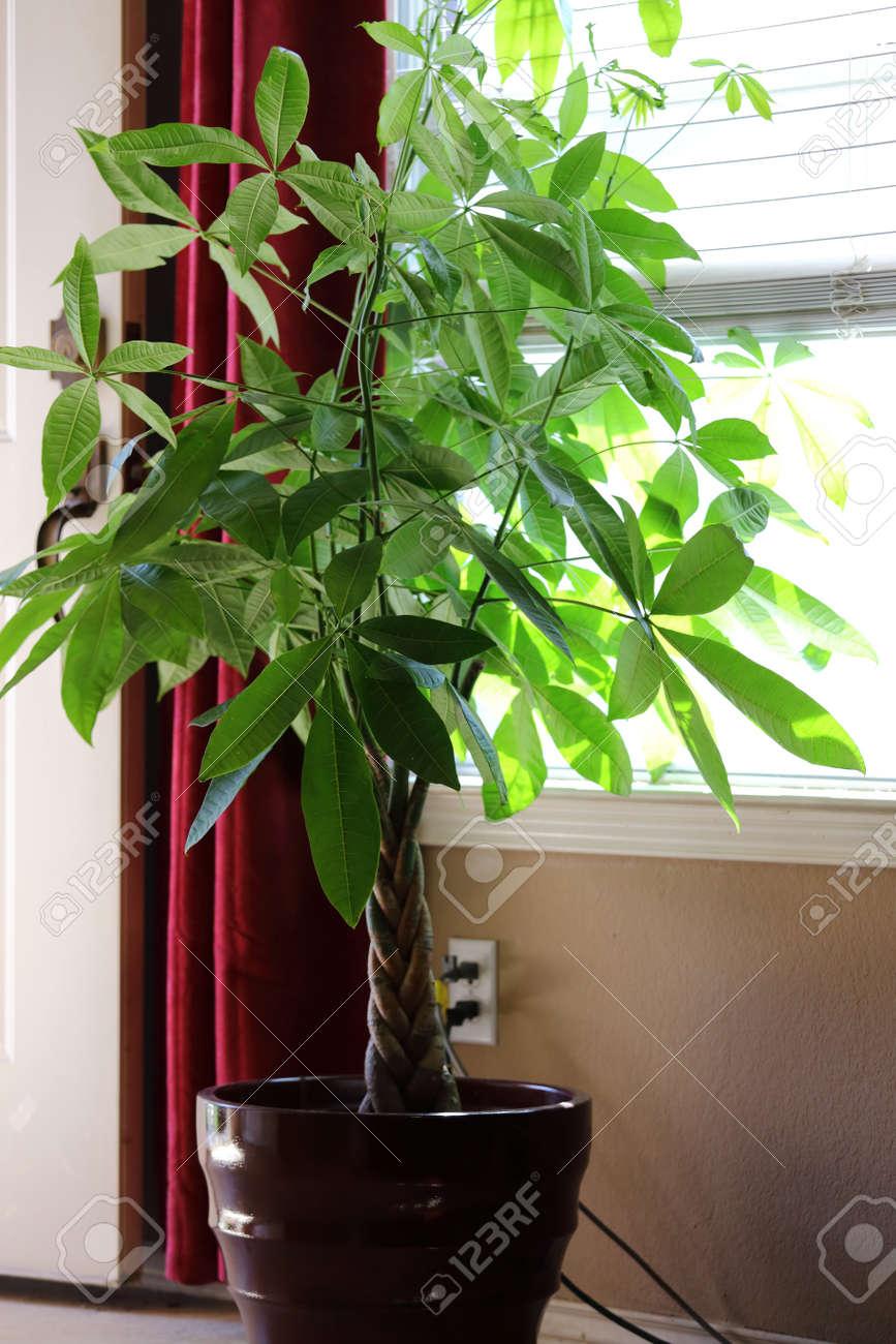 Pachira aquatica  house  Pachira Aquatica Houseplant