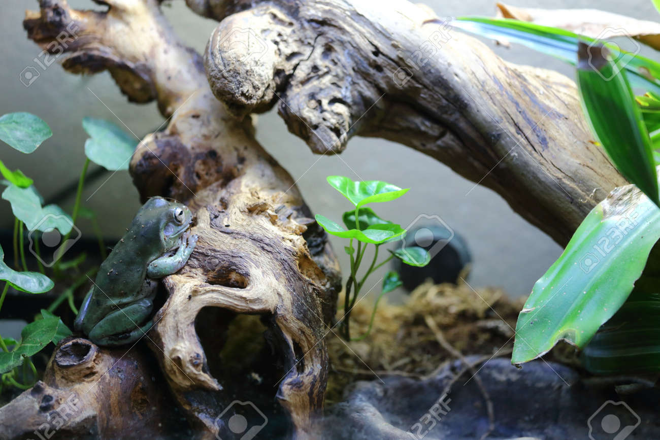 A White S Dumpy Tree Frog Sitting On A Log In A Terrarium Stock Photo Picture And Royalty Free Image Image 21576009