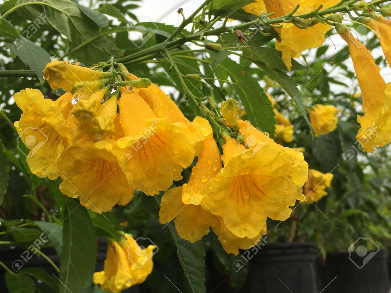 Esperanza Yellow Bells Plant In Full Bloom With Yellow Flowers