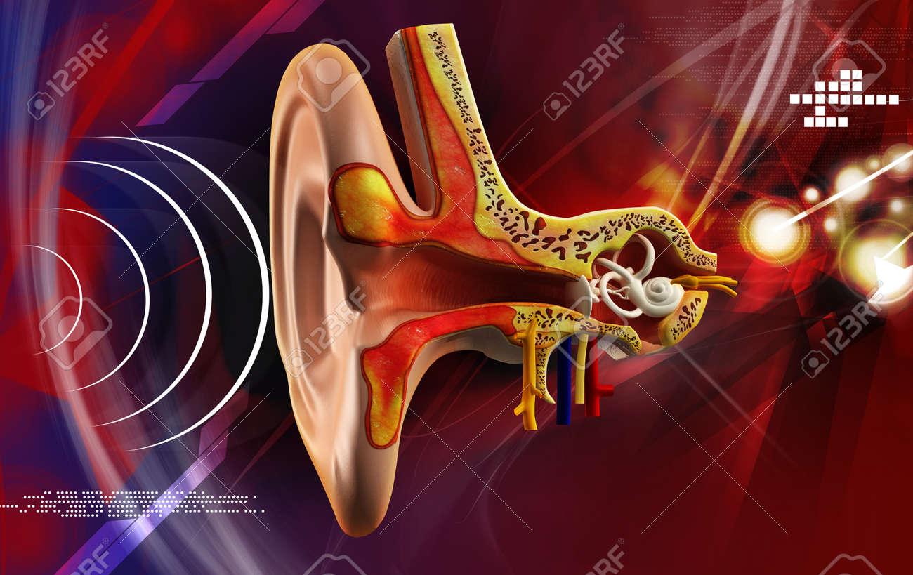 Anatomía Del Oído En El Color De Fondo Fotos, Retratos, Imágenes Y ...