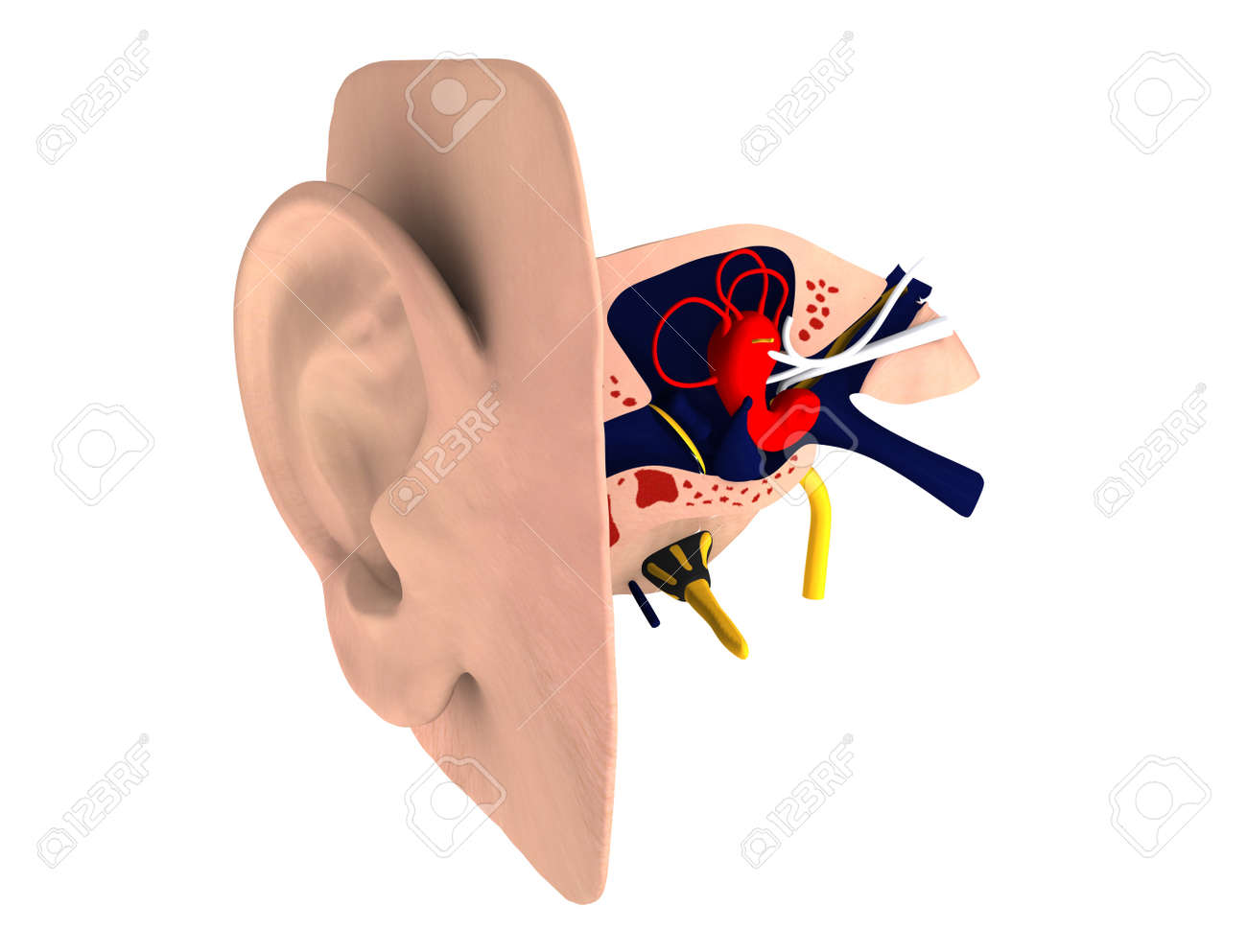 Human ear c Anatomy Stock Photo - 16774353