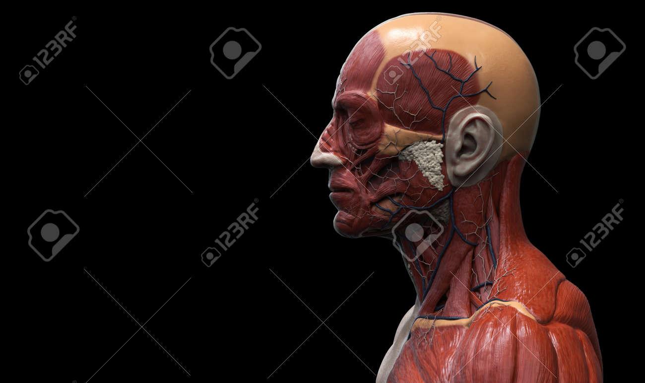 Head And Torso Anatomy , Human Head And Shoulder Muscular Anatomy ...