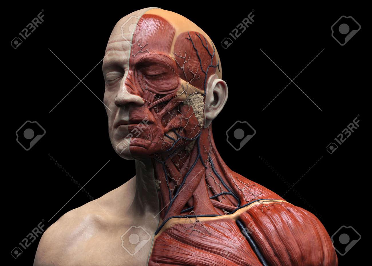 Anatomía Cuerpo Humano - Anatomía Del Músculo Del Cuello Cara Y El ...