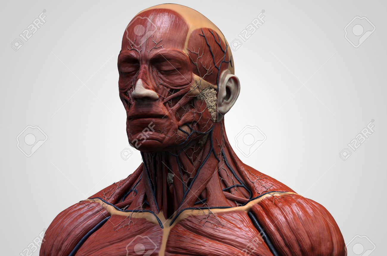 Human body anatomy - muscle anatomy of the face neck and chest