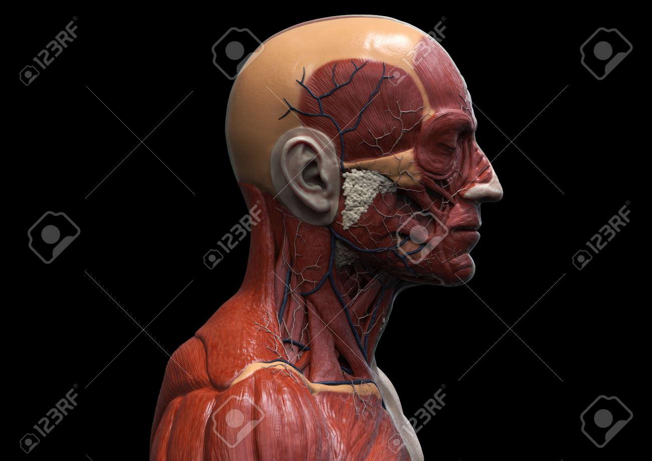 Excepcional Anatomía De Los Músculos Del Pecho Componente - Anatomía ...