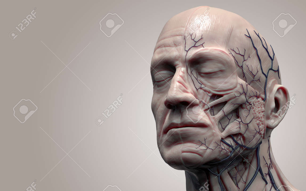 Head Anatomy Isolated Medical Image Reference Of Human Anatomy