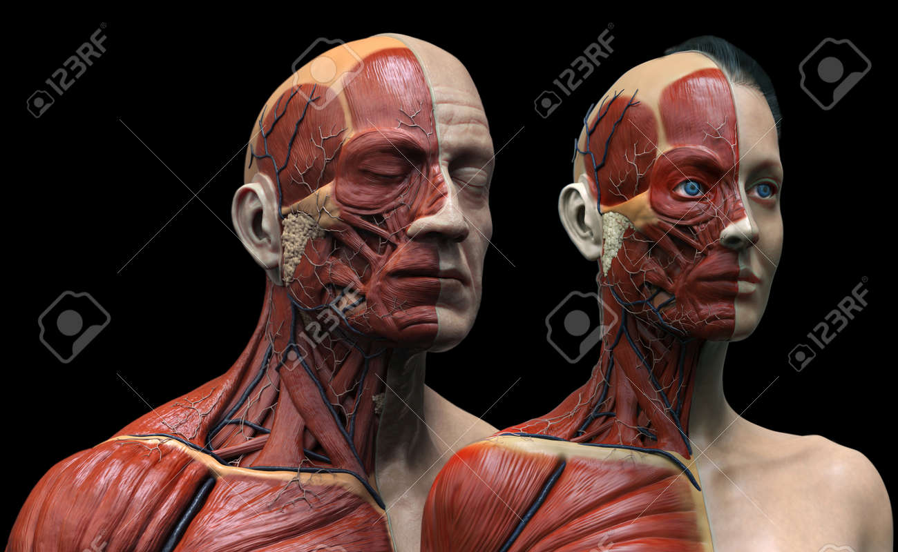 Human Body Anatomy , Male And Female Anatomy Background , Muscle ...