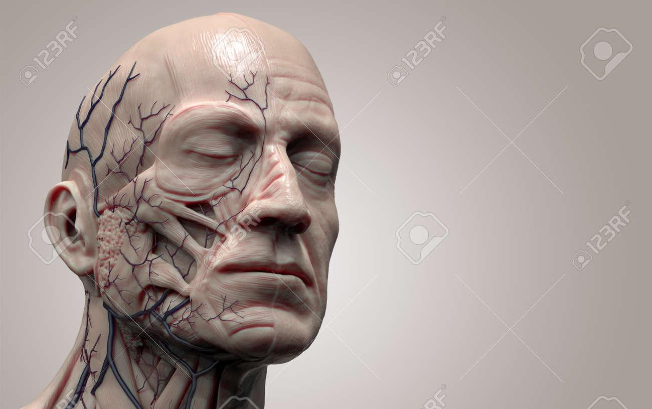 Anatomía Cabeza Aislada, Referencia De La Imagen Médica De La ...