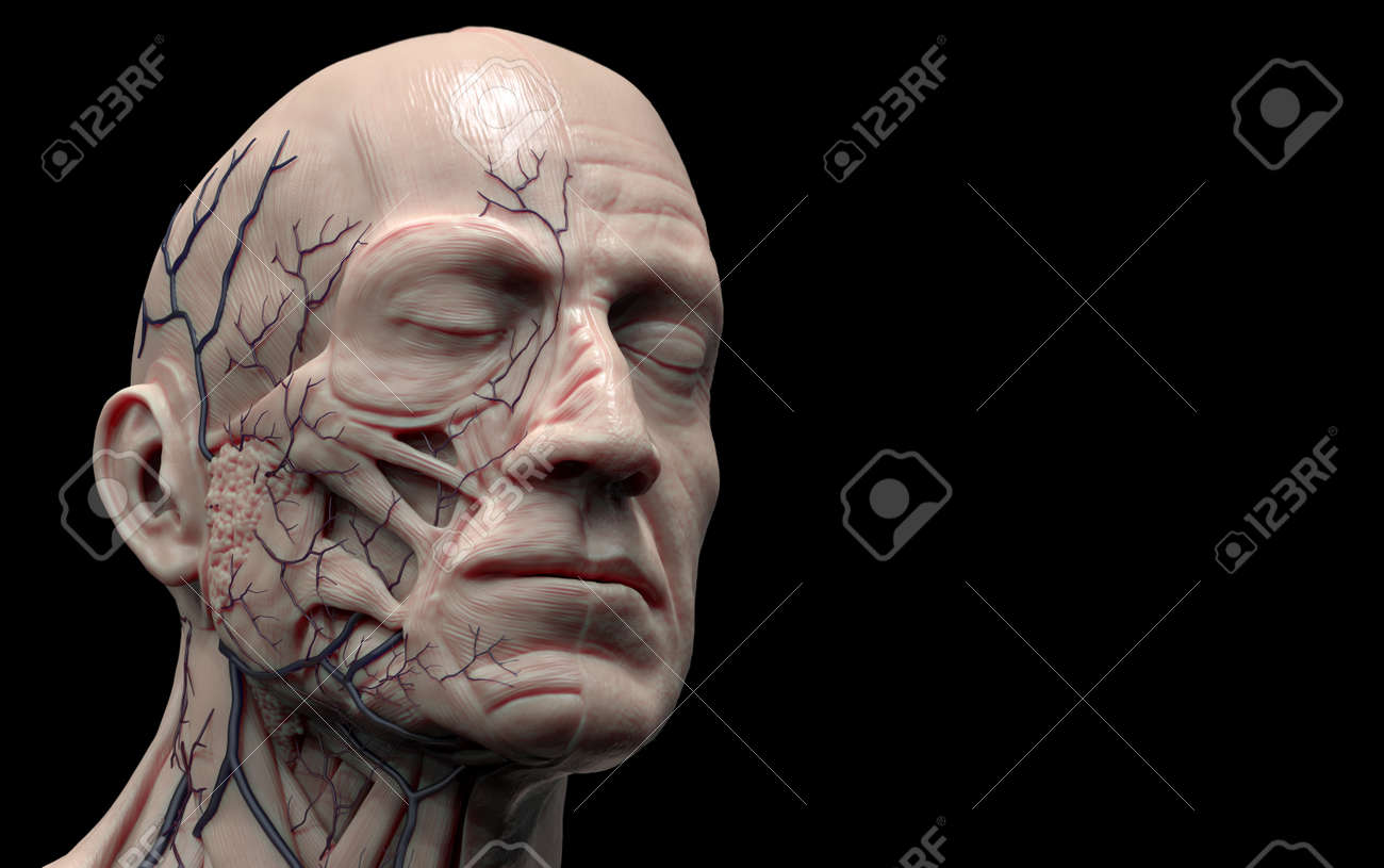 Head Anatomy Isolated , Medical Image Reference Of Human Anatomy ...